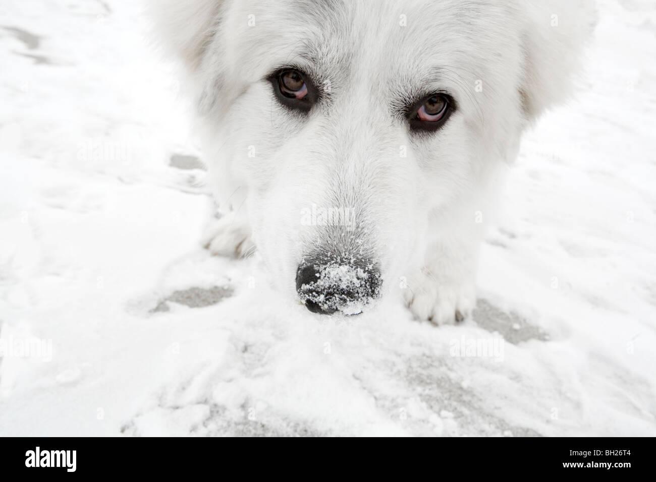 Grande pirenei mangiare neve Immagini Stock