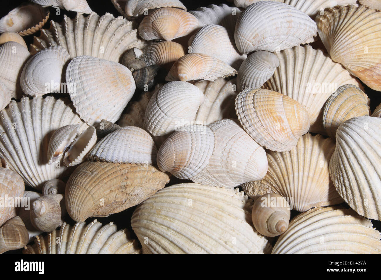 Accozzaglia di moderni Brachipod conchiglie sulla spiaggia. Immagini Stock