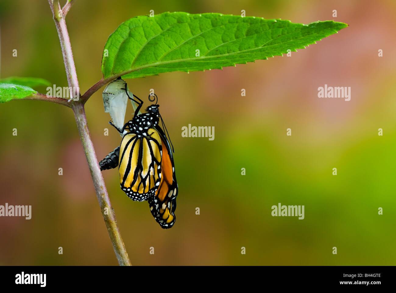 Farfalla monarca emerse dal bozzolo crisalide vuota, il pompaggio di meconio dall'addome in ali, Nova Scotia. Immagini Stock