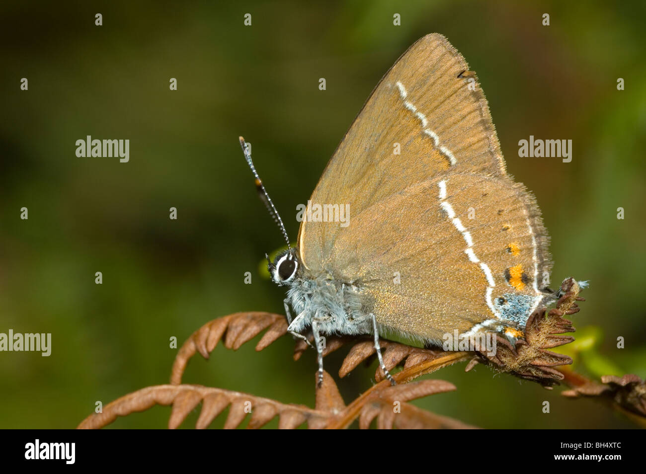 Macchia blu Hairstreak (Satyrium spini) Immagini Stock