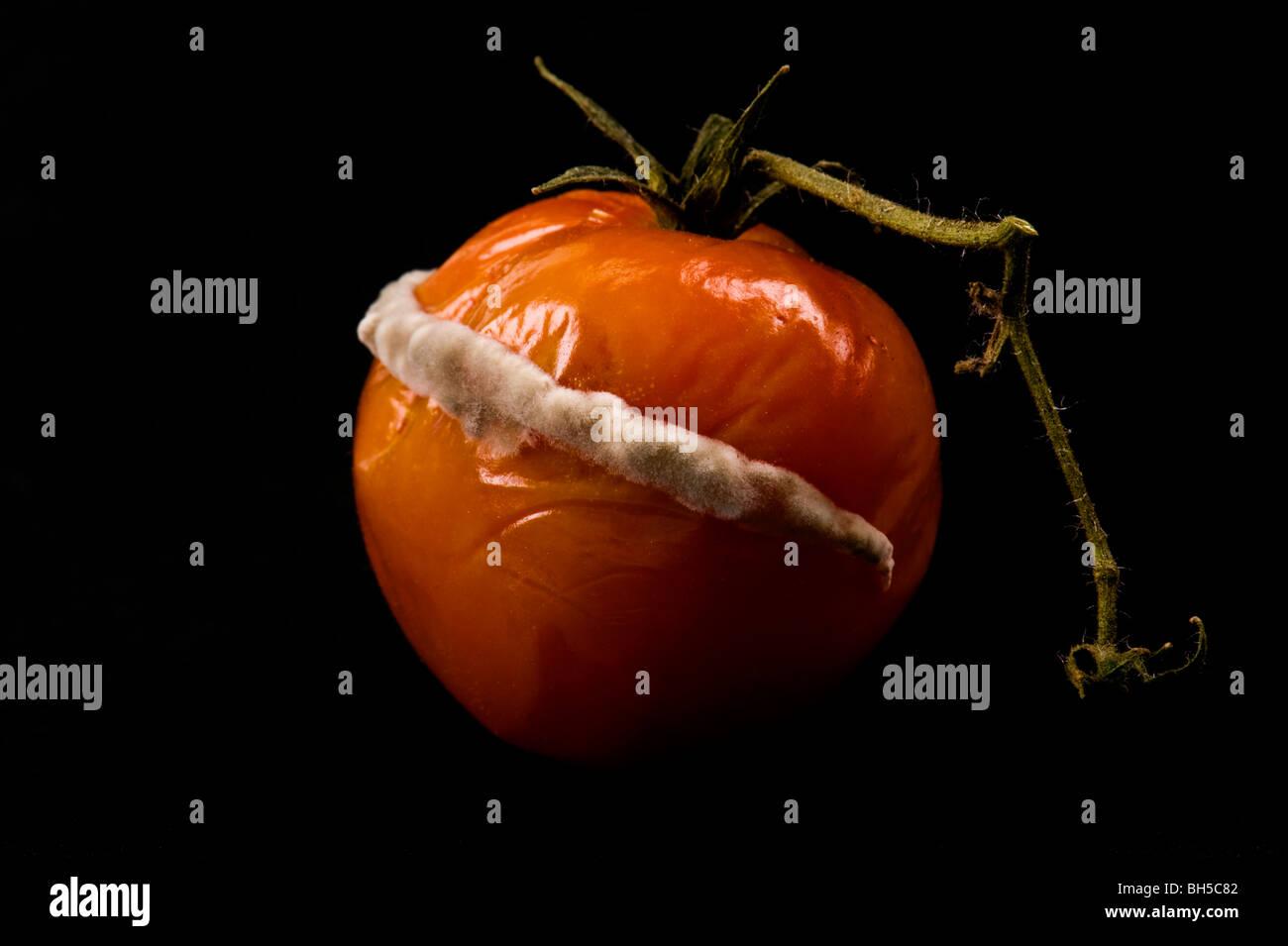 Oidio su pomodoro stampo deve funghi fungo stampo disturbo malattia fungina stampo muffa polverulente problema vista Immagini Stock