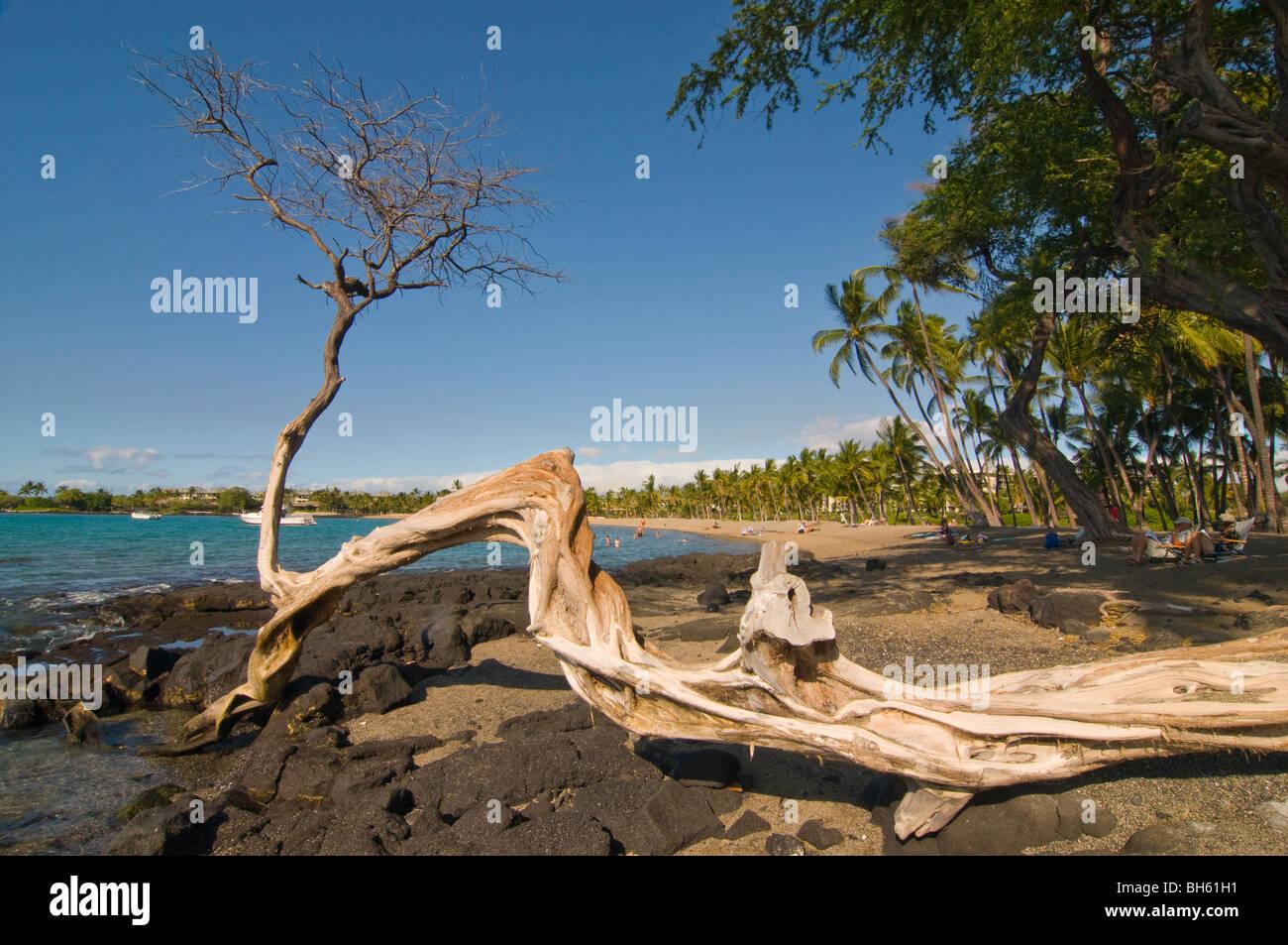 Nature art. Albero che cresce sulla spiaggia rocciosa. La Big Island delle Hawaii , Immagini Stock
