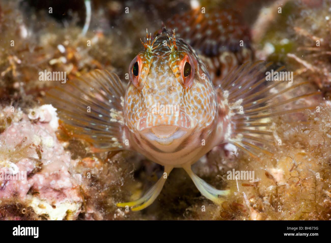 Variabile, bavose Parablennius pilicornis, Tamariu, Costa Brava, Mare mediterraneo, Spagna Immagini Stock