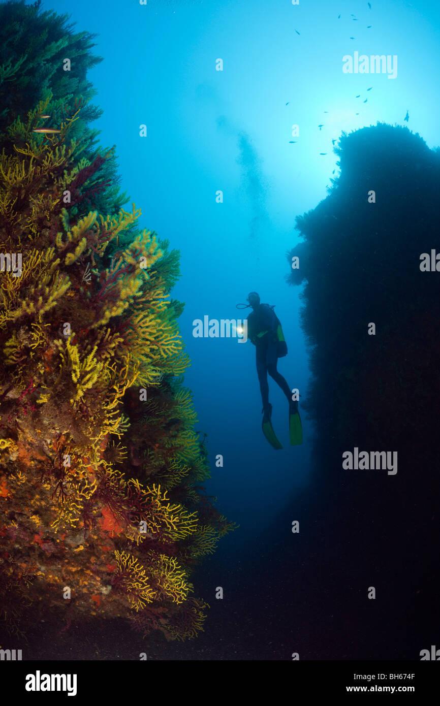 Scuba Diver e variabile gorgonie Paramuricea clavata, Tamariu, Costa Brava, Mare mediterraneo, Spagna Immagini Stock