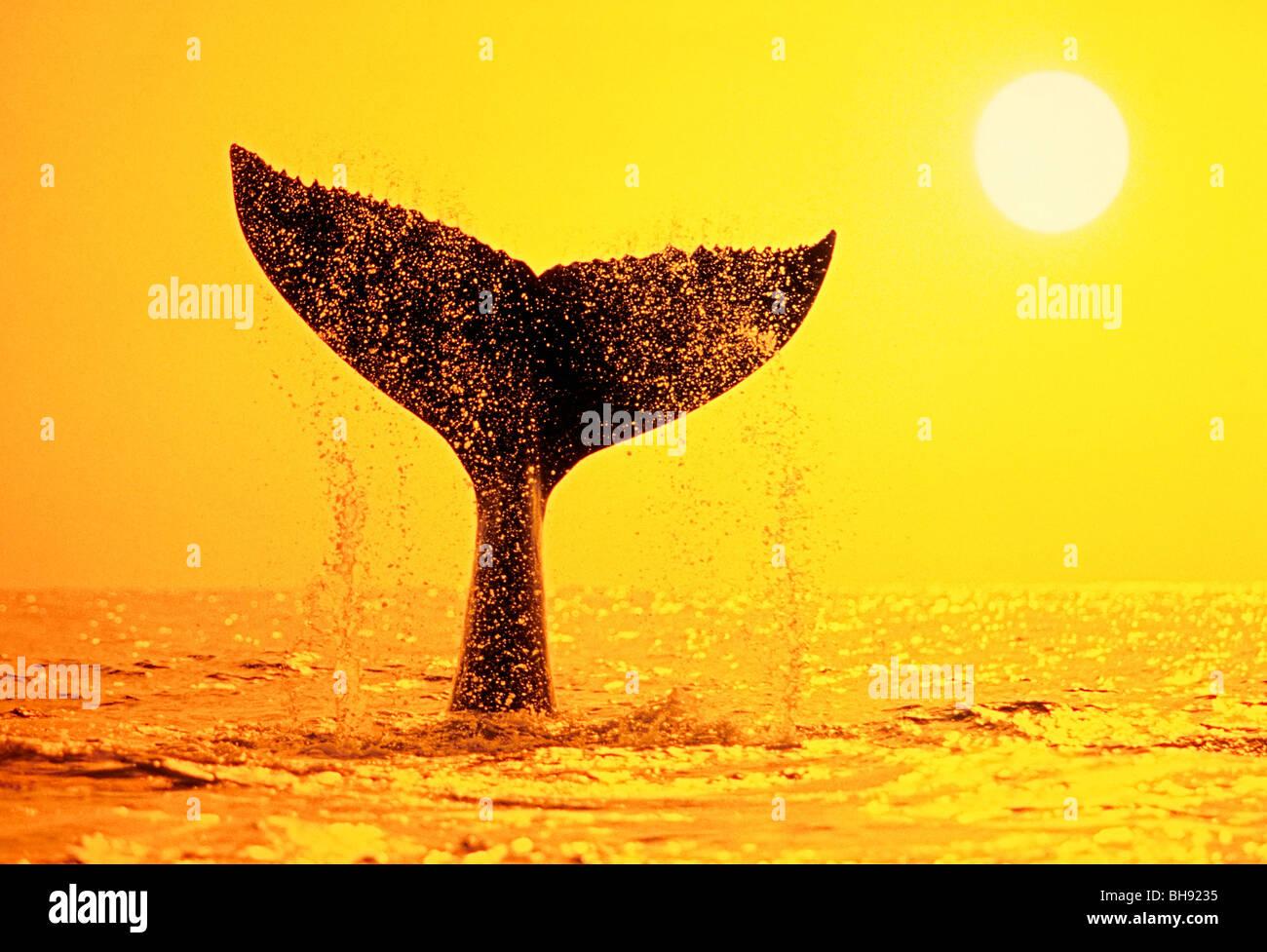 Humpback Whale Coda, Megaptera novaeangliae, Big Island, Costa di Kona, Hawaii, STATI UNITI D'AMERICA Immagini Stock