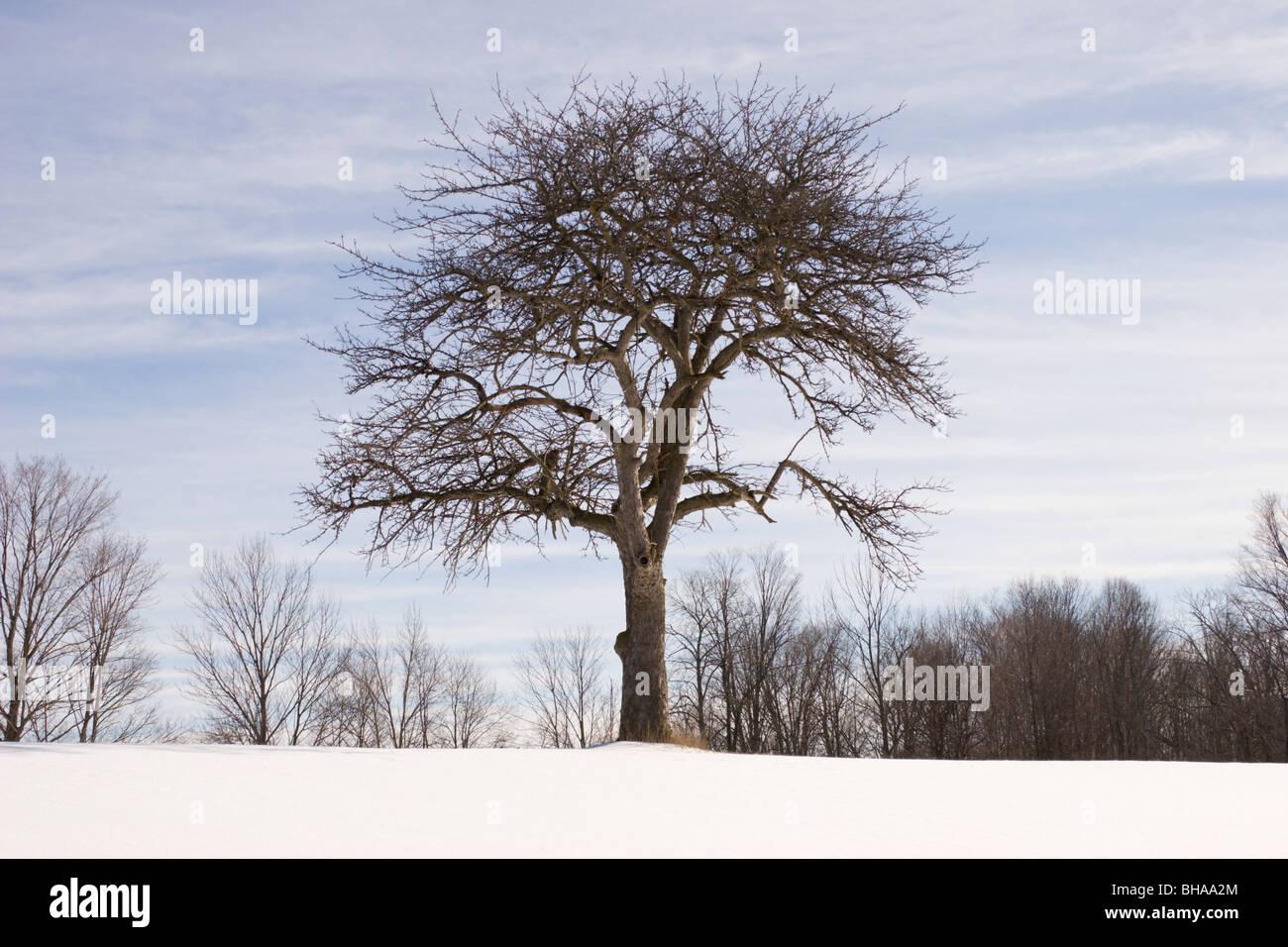 Tree apple scena invernale melo Immagini Stock