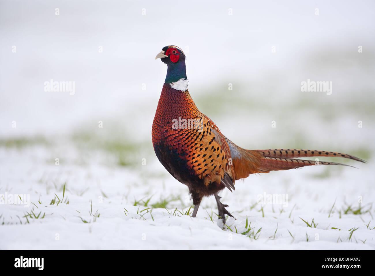 Pheasant Phasianus colchicus Immagini Stock