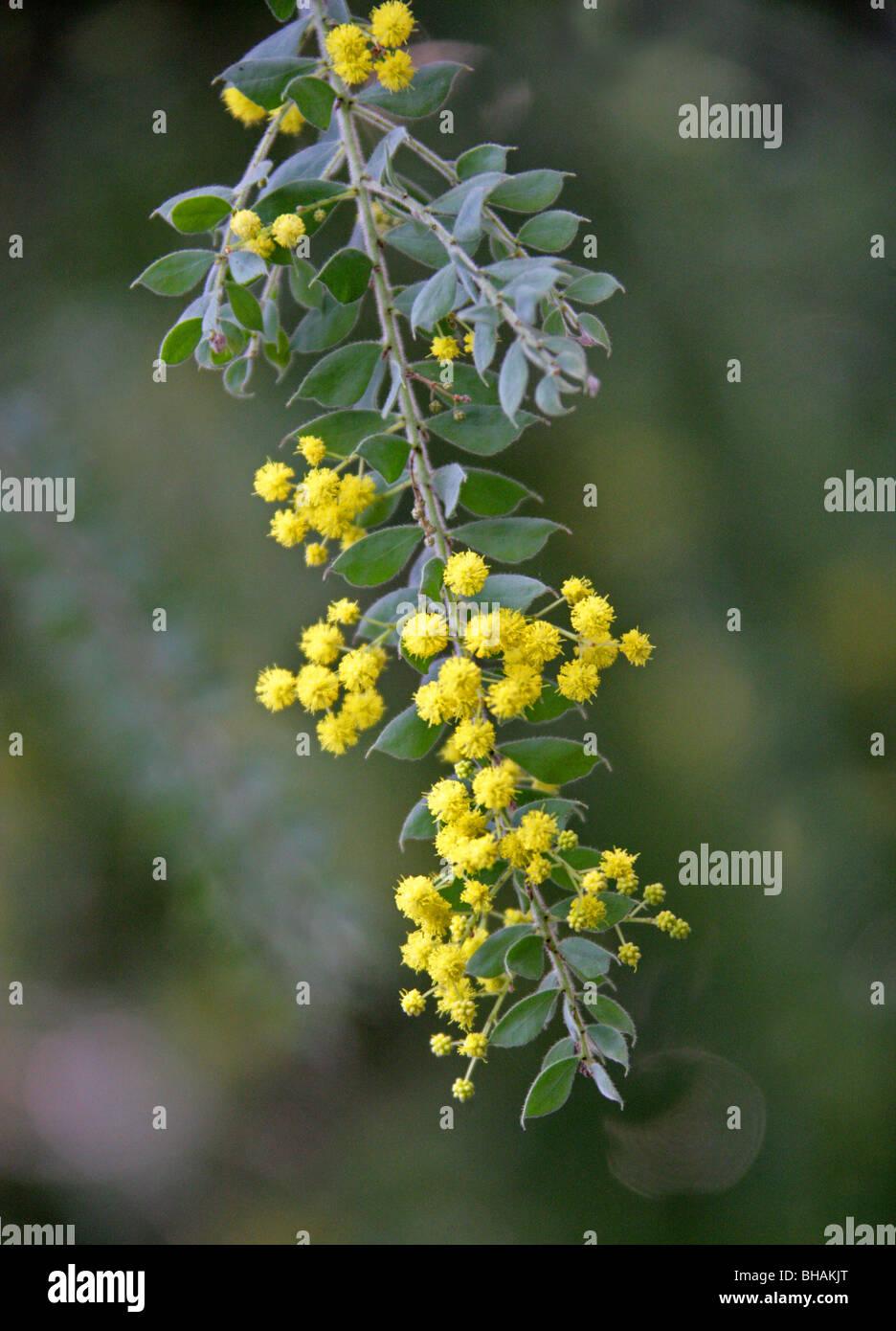 Graticcio pelose o piangendo Boree, vestita di acacia, Fabaceae, Nuovo Galles del Sud, Australia Immagini Stock