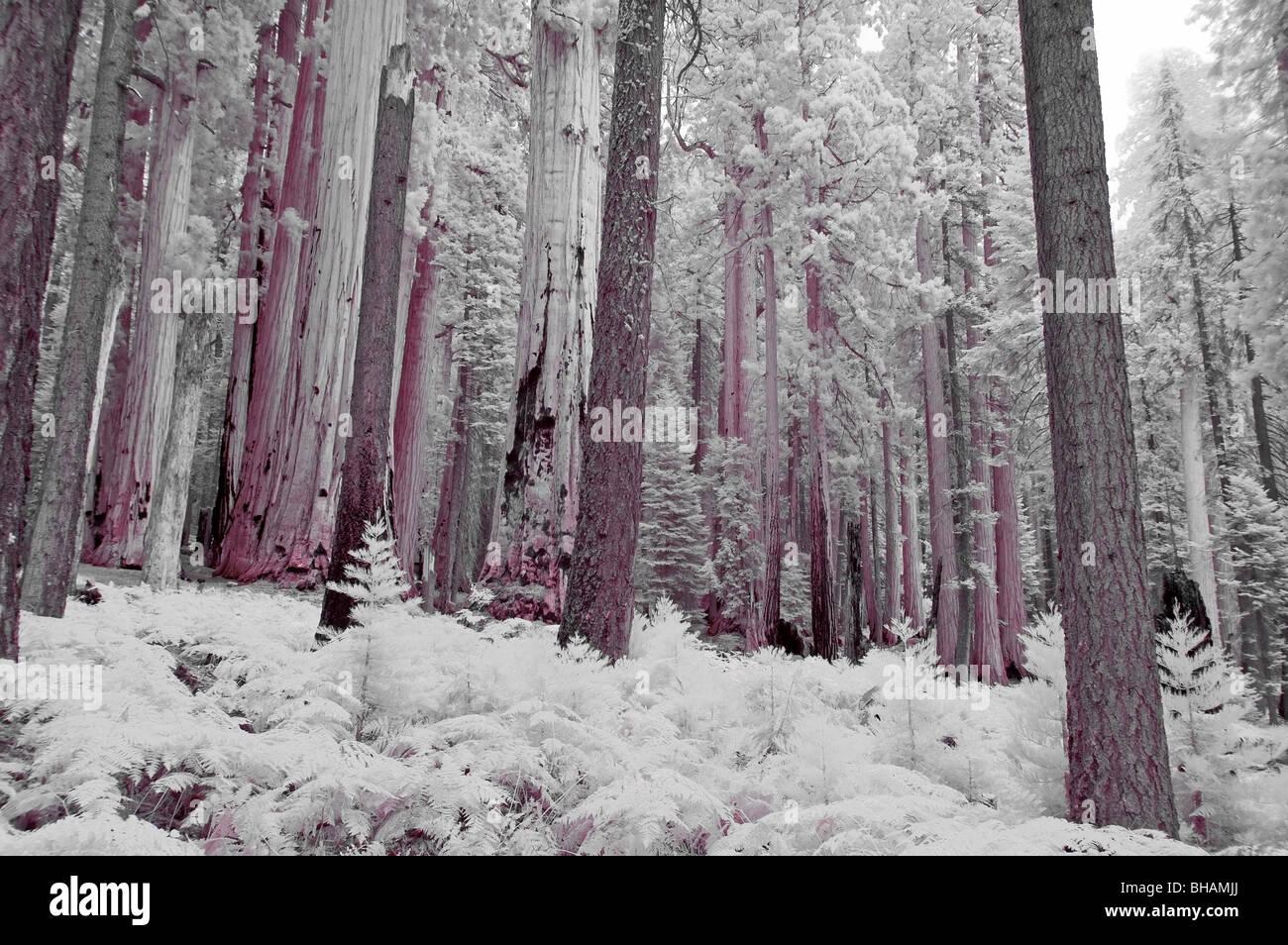 Girato a infrarossi della sequoia gigante delle foreste nel Parco Nazionale di Sequoia, CALIFORNIA, STATI UNITI Immagini Stock