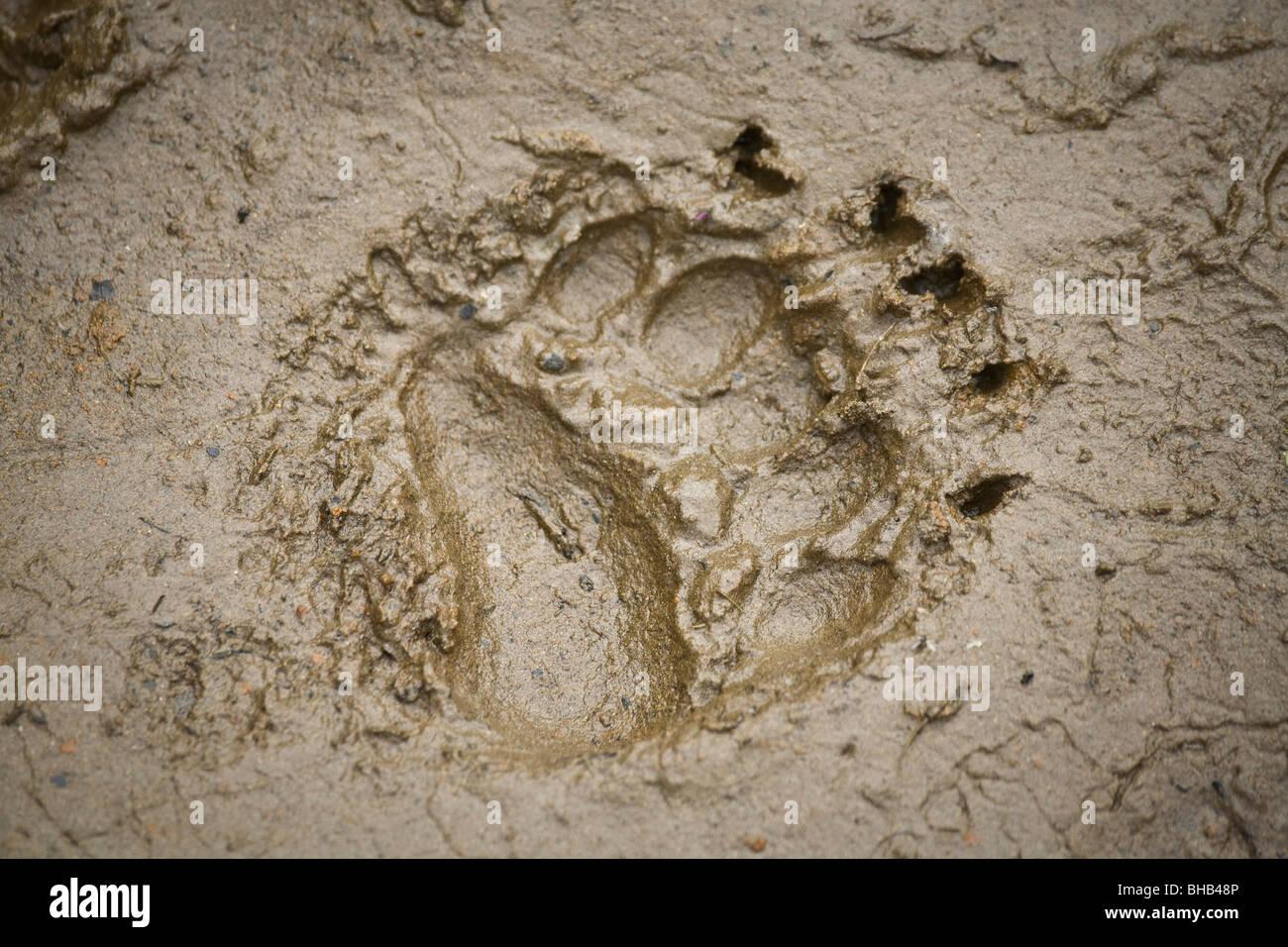 Orso bruno via nel fango sulla riva del fiume Grandi Laghi in Alaska centromeridionale durante l'estate Immagini Stock