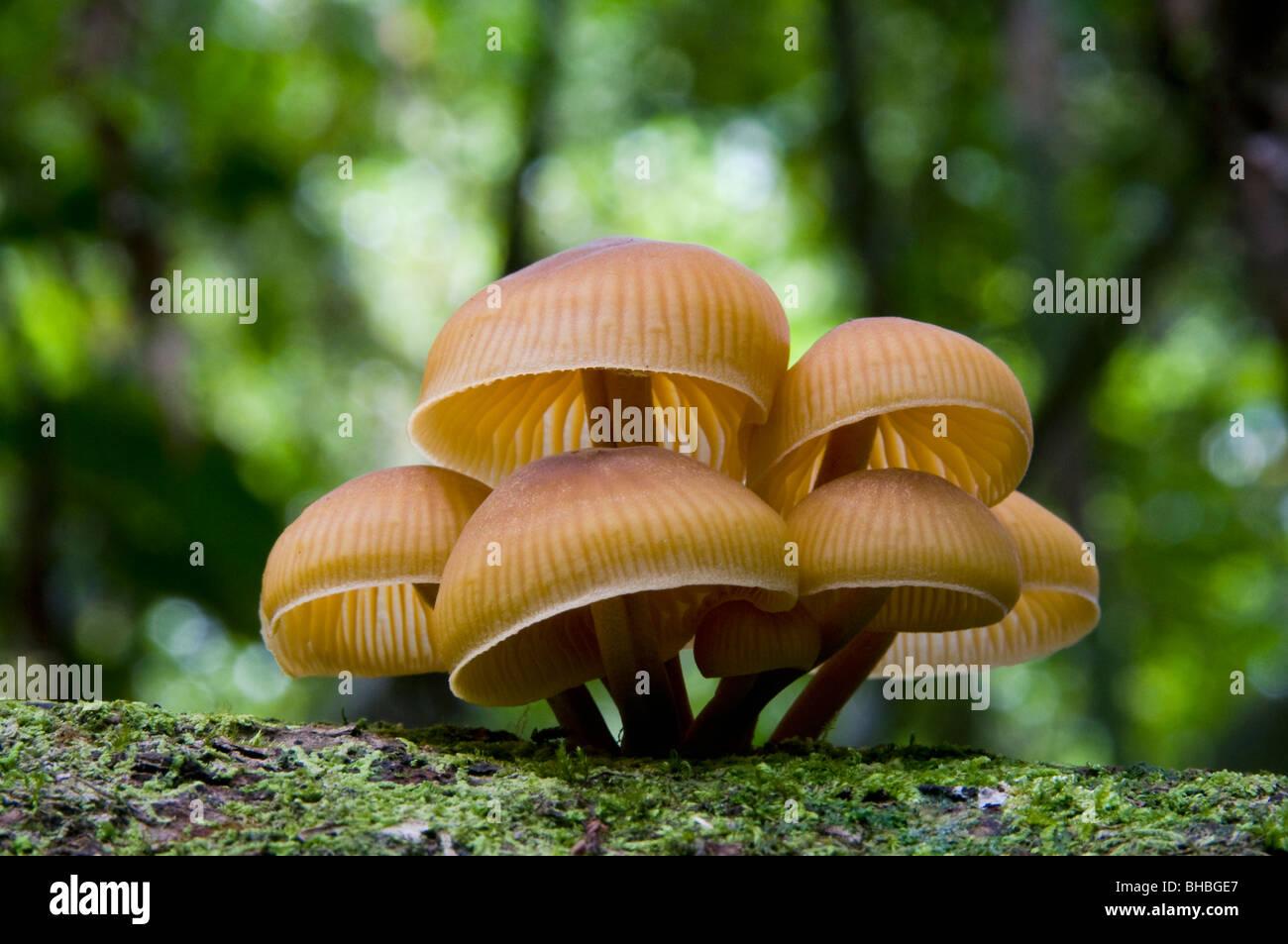Funghi caduti sul registro della foresta pluviale, Camp 1, Marojejy National Park, Madagascar Immagini Stock