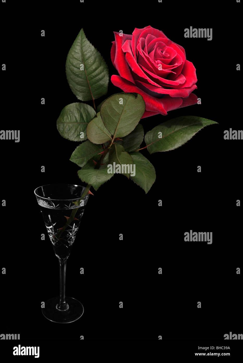 Rosa Rossa In Un Bicchiere Con Sfondo Nero Foto Immagine Stock