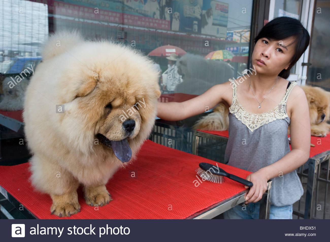 Un Chowchow essendo curato alla 'DONGS Feng Xin' mercato del cane. Pechino, Cina Immagini Stock