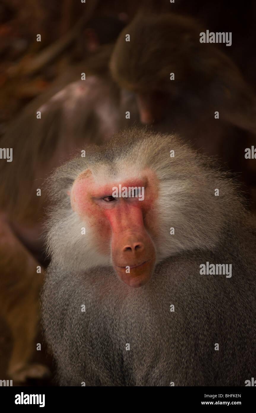 Maschio di babbuino hamadryas sta solo dal pacco. Immagini Stock