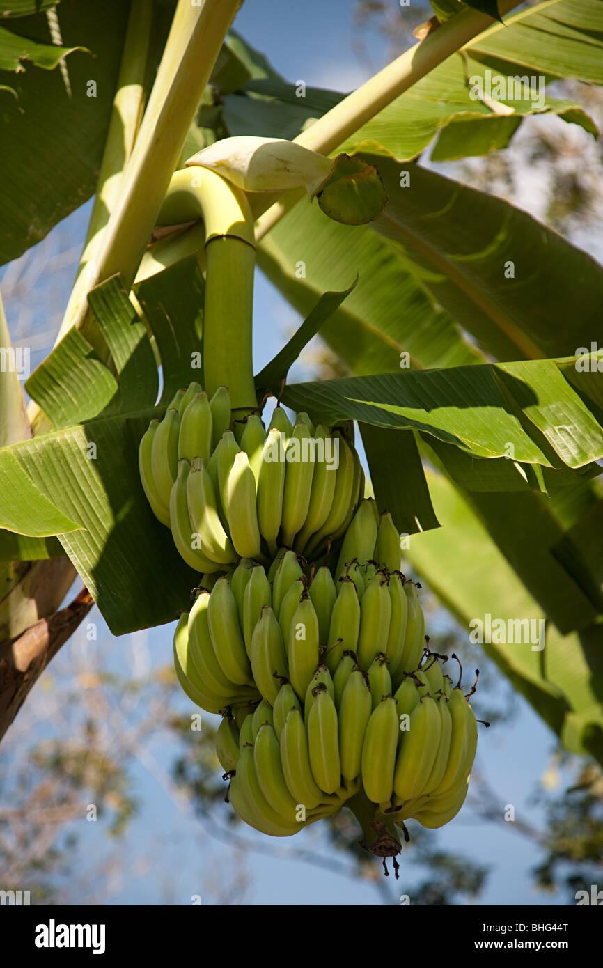 Pianta Di Banana Foto pianta di banana foto & immagine stock: 28014024 - alamy