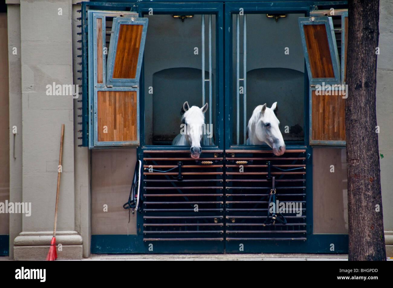 Due cavalli bianchi nel maneggio della Scuola di Equitazione Spagnola nella Hofburg di Vienna Austria Immagini Stock