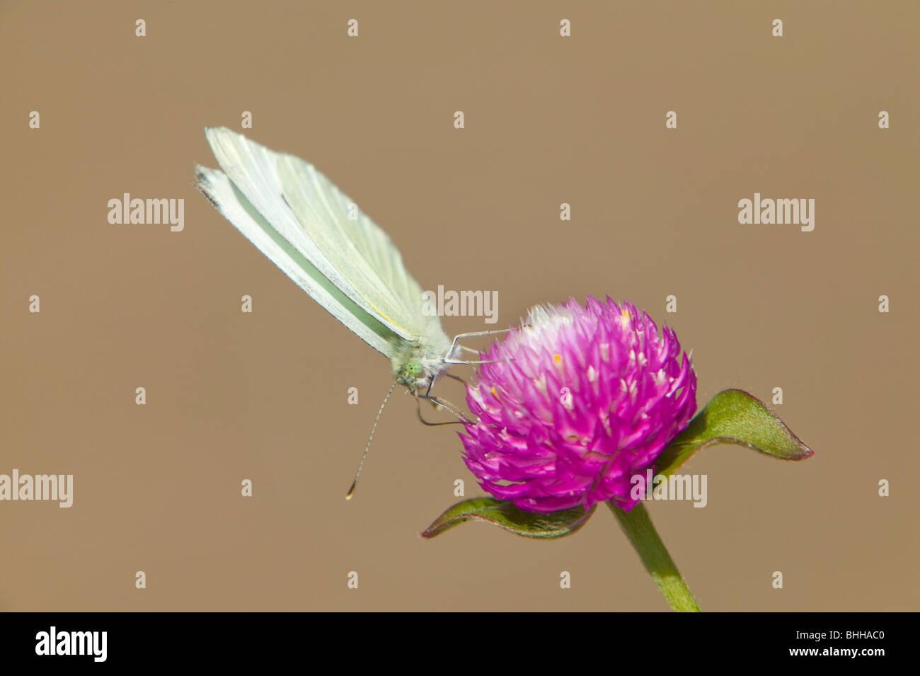 Offuscato la farfalla di zolfo su una Gomphrena globosa, STATI UNITI D'AMERICA. Immagini Stock