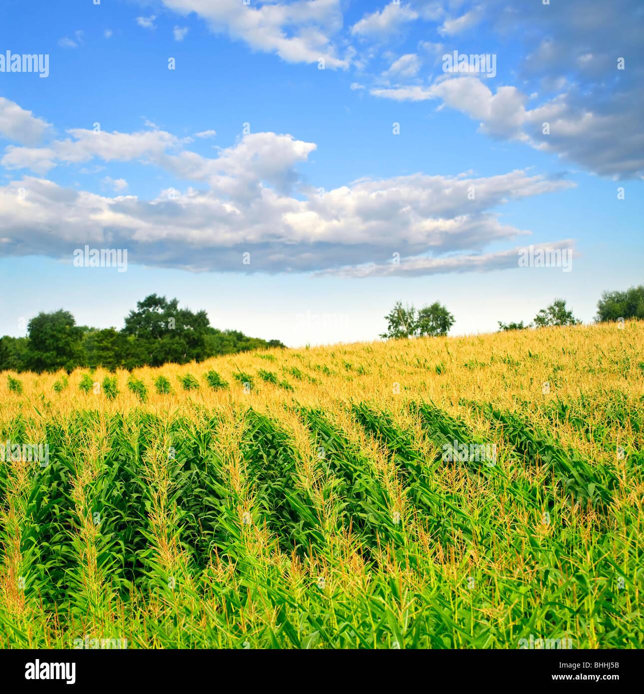 Il paesaggio agricolo del campo di mais su piccola scala azienda agricola sostenibile Immagini Stock