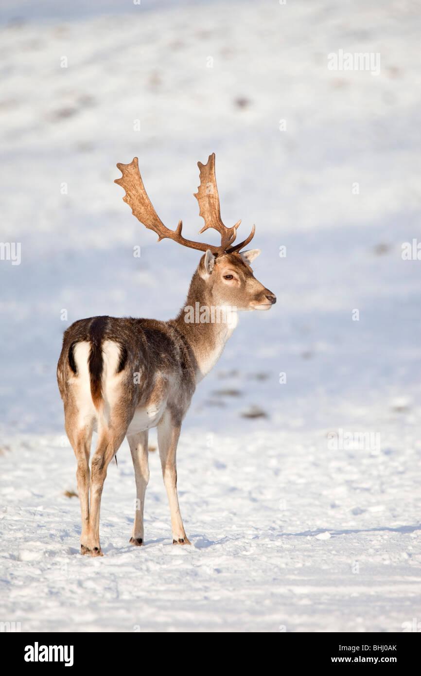 Daini; Dama Dama; nella neve Immagini Stock