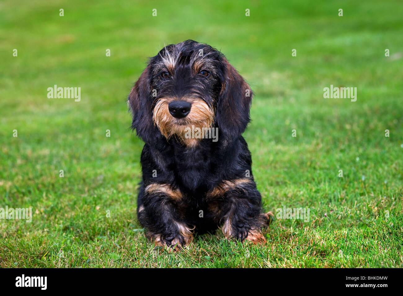 Wire-haired Wirehaired / Bassotto (Canis lupus familiaris) pup giacente sul prato in giardino Immagini Stock