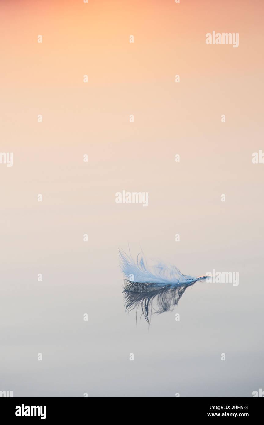 White Bird piuma su flottante ancora acqua a sunrise in India Immagini Stock