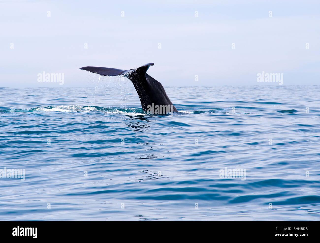 Sperma balena immersioni subacquee, Kaikoura, Isola del Sud, Nuova Zelanda Immagini Stock