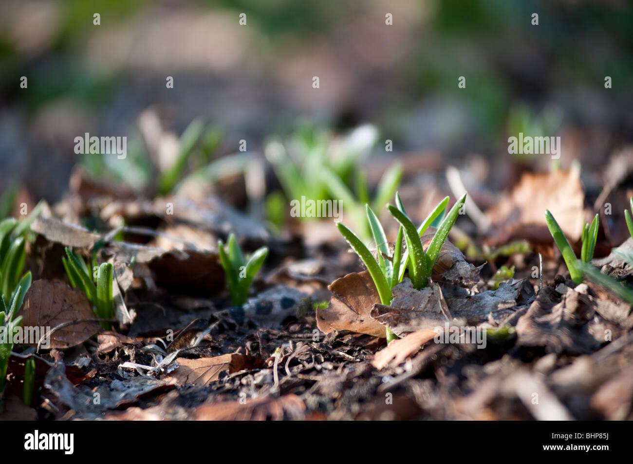 Germogli verdi di primavera - lampadina lascia cominciando a mostrare attraverso la massa il pupazzo di neve Foto Stock