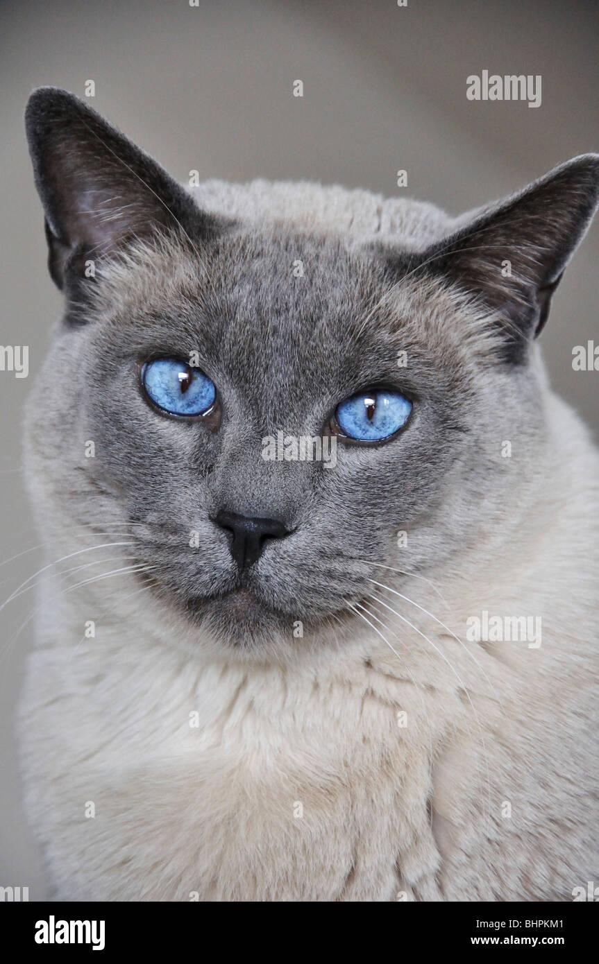 Gatto Siamese Foto Immagine Stock 28157921 Alamy