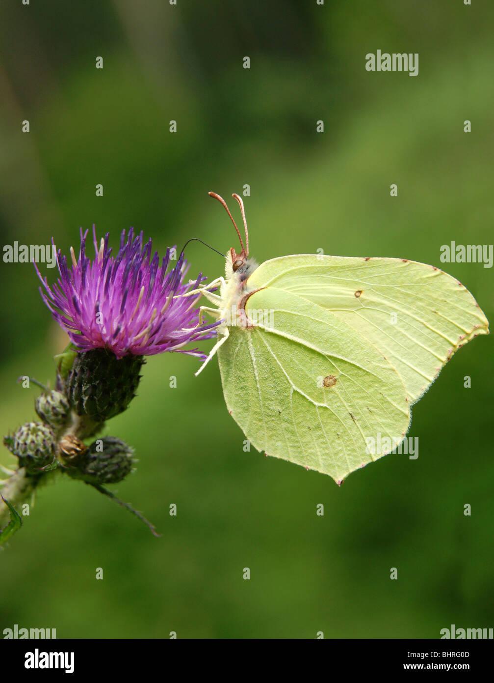Limone Giallo farfalla sul fiore viola close-up Immagini Stock