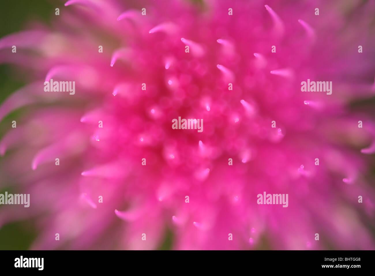 Close-up thistle blossom, il fuoco selettivo Immagini Stock