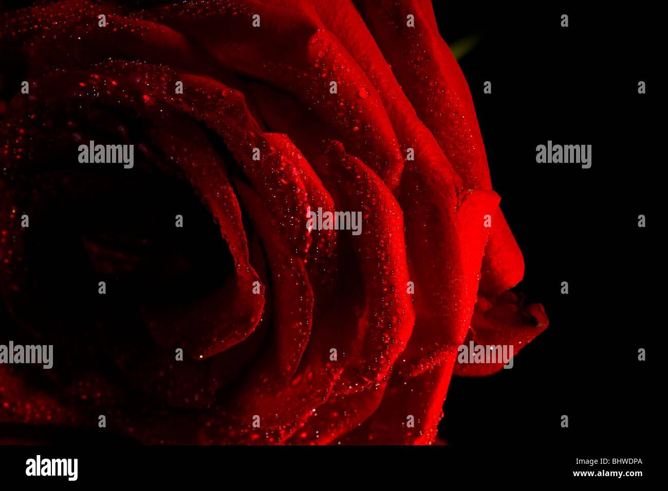Una Rosa Rossa Con Una Nebulizzazione Di Acqua E Uno Stelo Su Uno