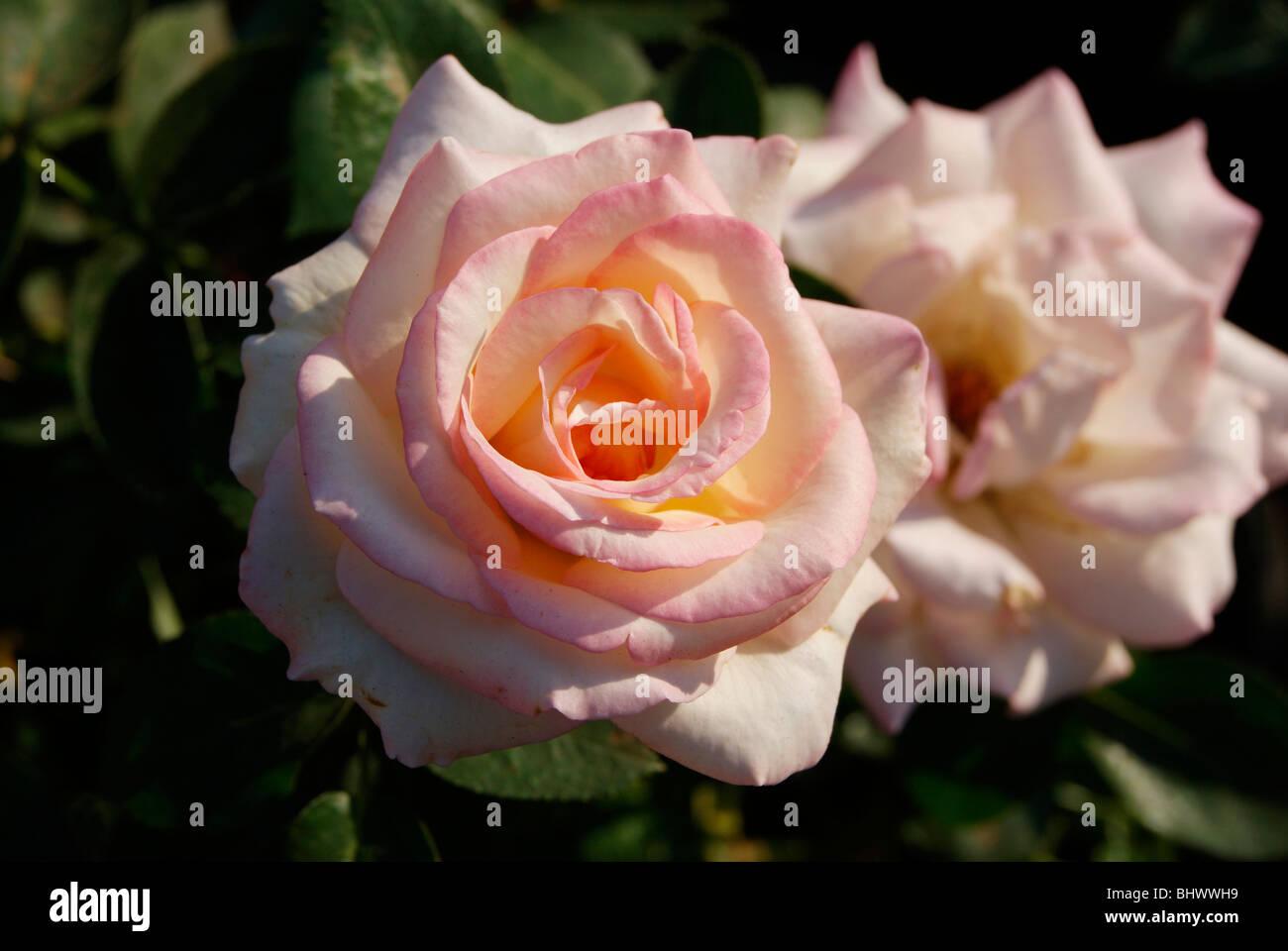 Rose Significa Bellezzarosa Rosa Fiorì Perfettamente E Brilla E Su