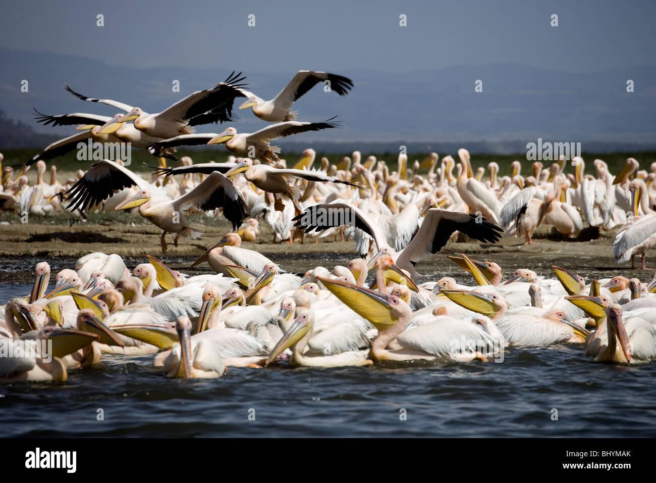 Great White Pelican, Lake Nakuru NP, Kenya, Africa orientale Immagini Stock
