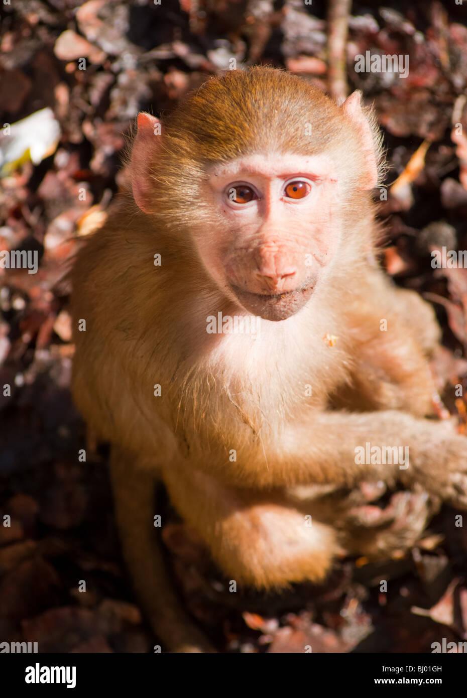 Giovani Hamadryas baboon cerca sinceramente. Immagini Stock