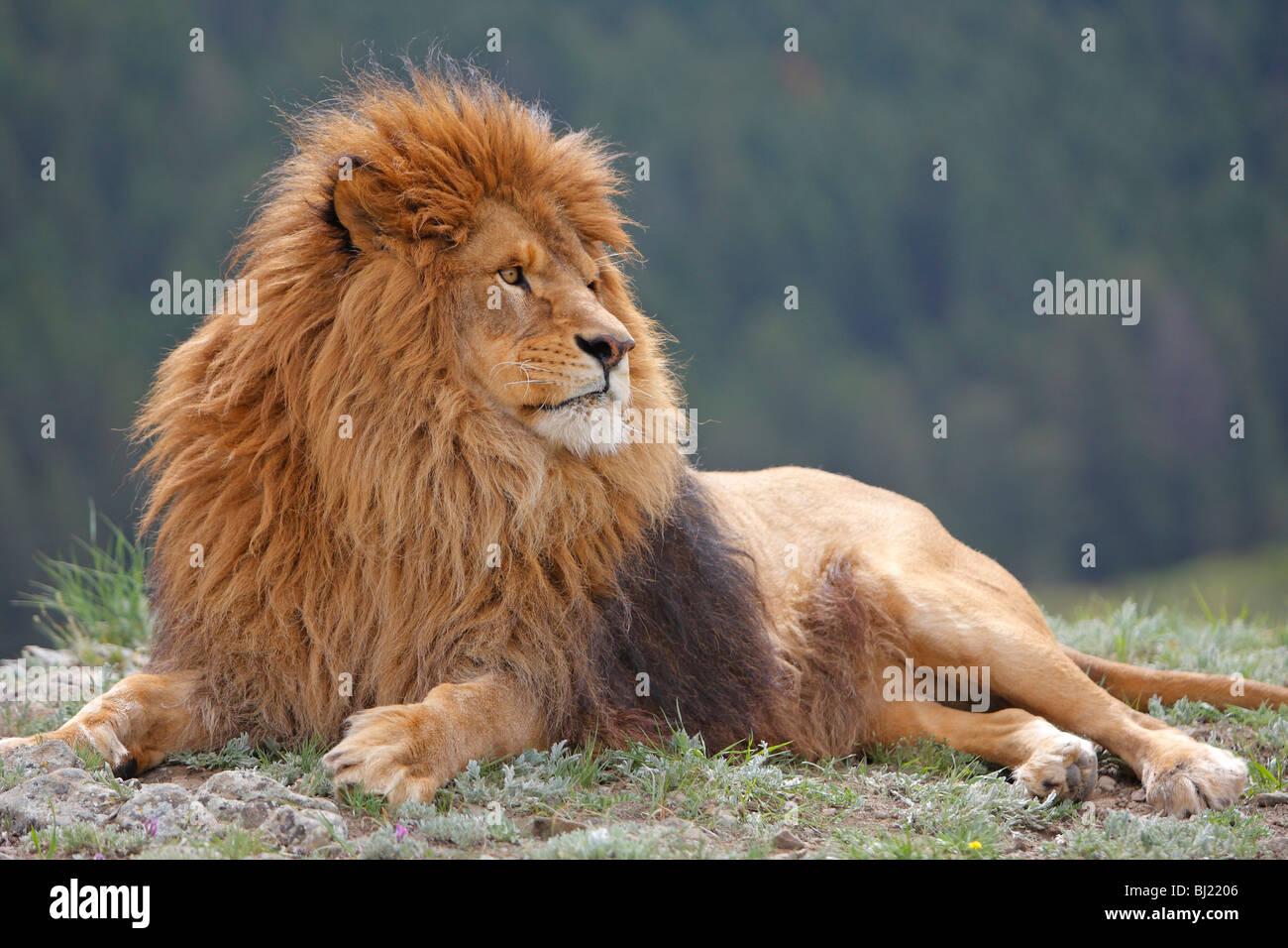 Barberia Lion (Panthera leo leo), giacente maschio. Immagini Stock