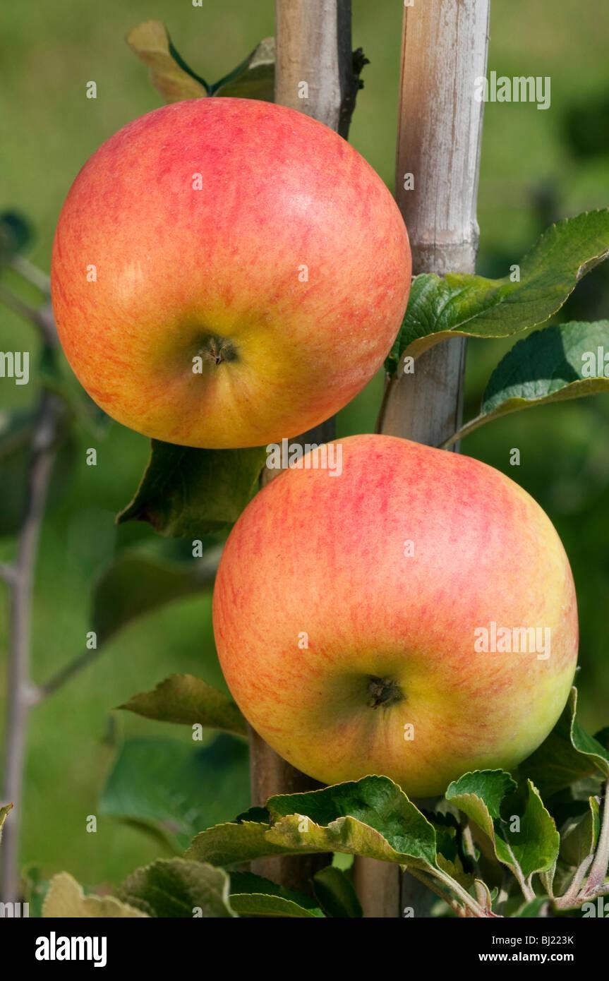 Apple domestico (malus domestica), varietà: Freiherr von Berlepsch, mele su un albero. Immagini Stock