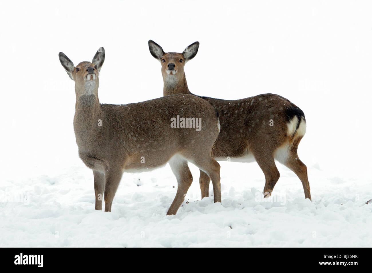 Dybowski o cervi sika, Cervus nippon, due fa avviso sulla neve campo coperto in inverno, gamma Asia Orientale Immagini Stock