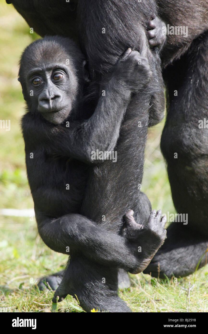 Pianura occidentale (Gorilla Gorilla gorilla gorilla), baby aggrappati a femmina è la gamba Immagini Stock