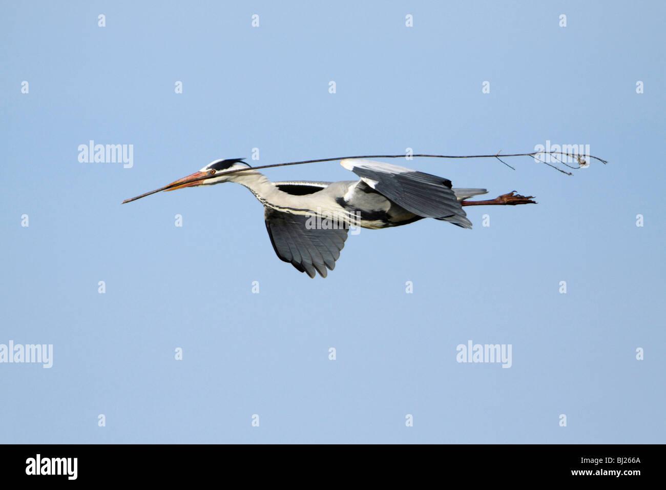 Airone cinerino (Ardea cinerea) - uccello in volo con materiale di nido in bill Immagini Stock