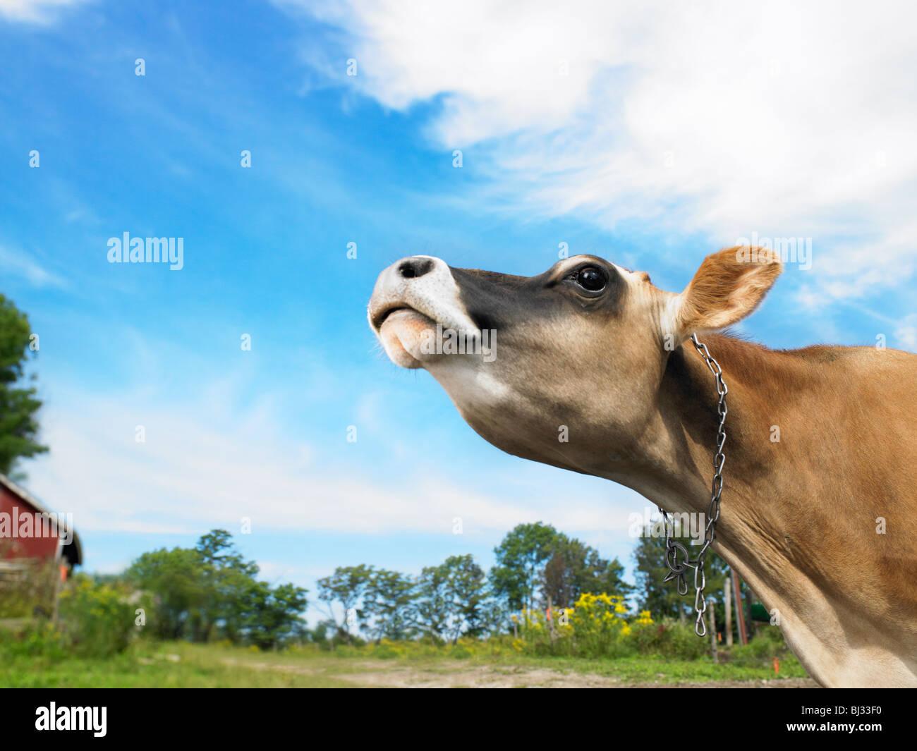 Mucca con il naso in aria Immagini Stock