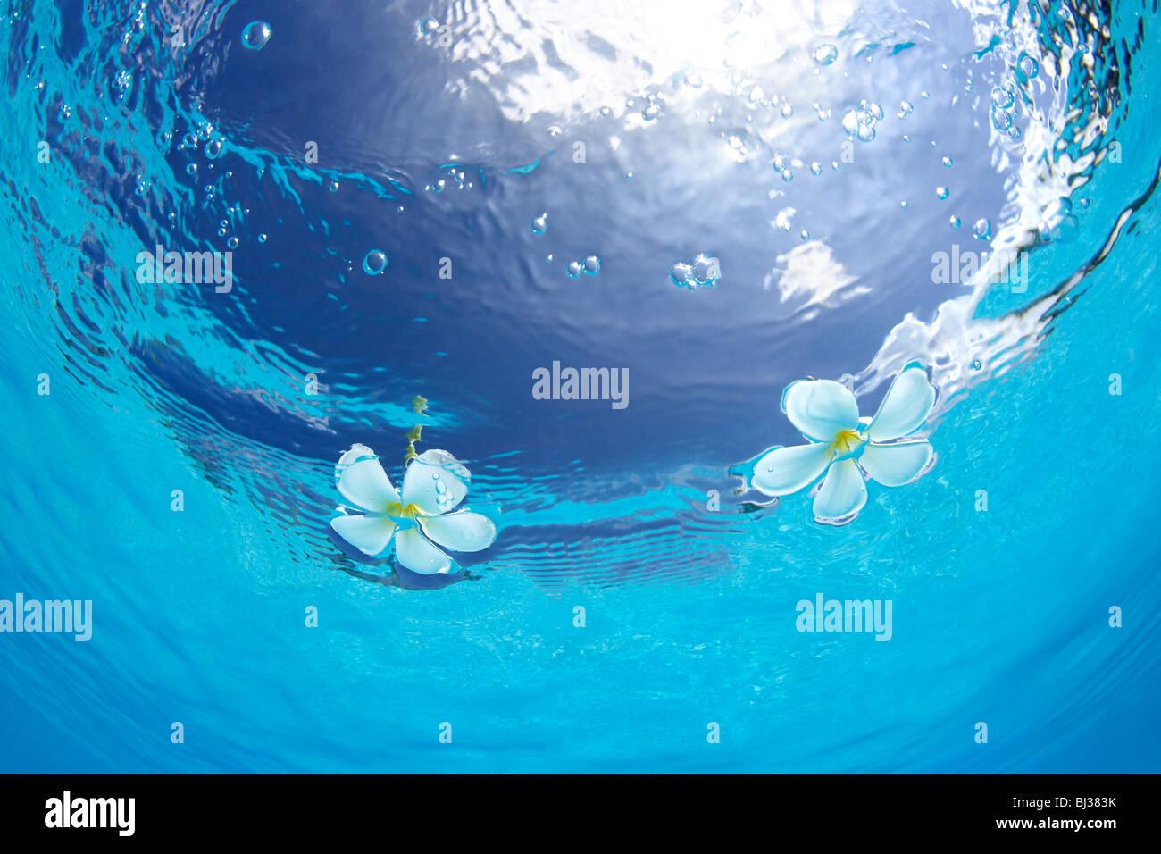 Plumerias galleggianti sull'acqua Immagini Stock