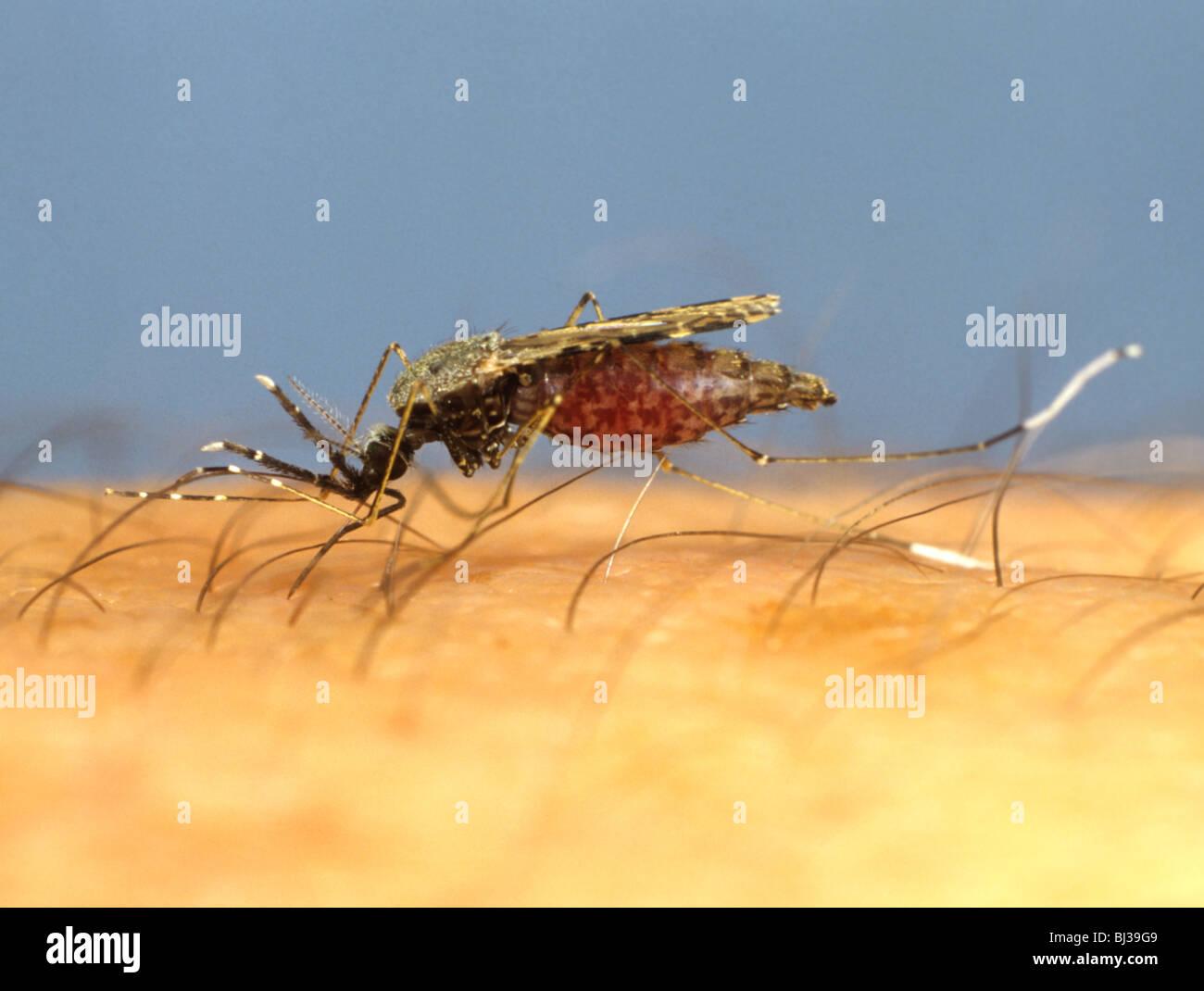 Sud America vettore della malaria (zanzara anopheles albimanus) alimentazione sul braccio umano Immagini Stock