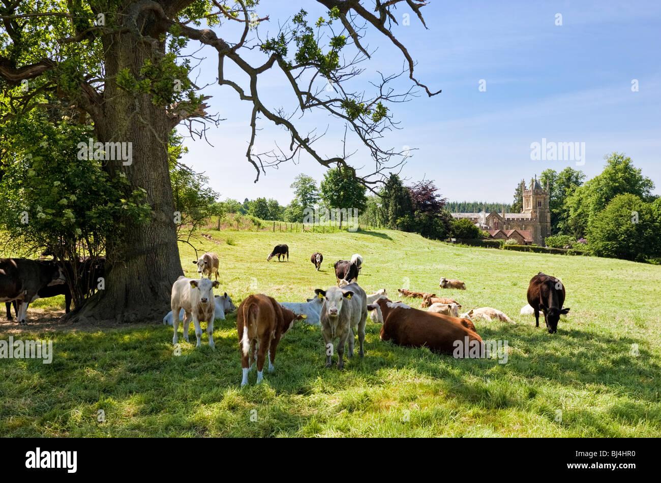 Vacche da latte in riposo sotto un albero in campi nei pressi Albury nel Surrey, Inghilterra, Regno Unito Immagini Stock