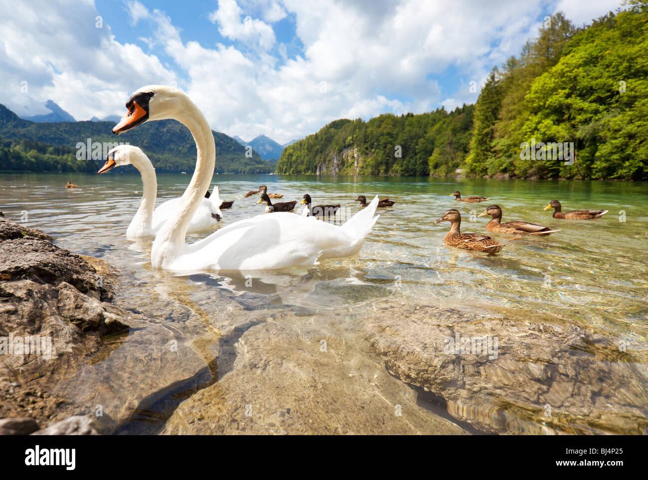 Il lago delle Alpi con uccelli. Ampio angolo di visione. Immagini Stock