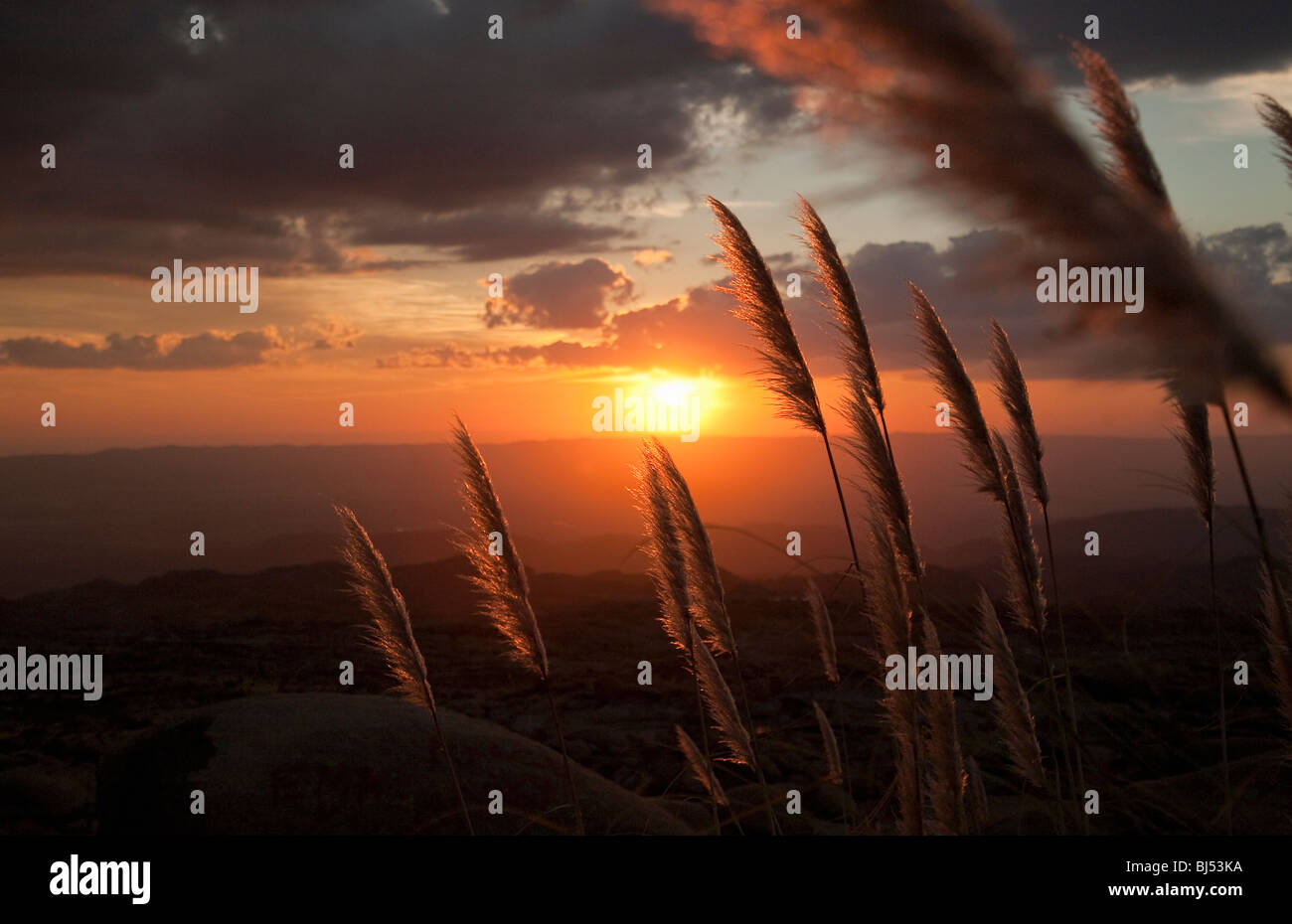 Erba reed accesa dal tramonto Foto Stock