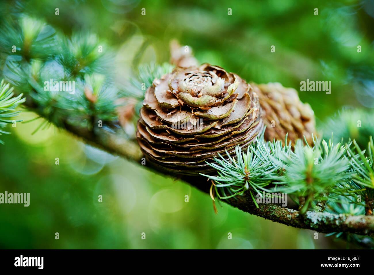 Cono di pino e albero sempreverde sfondo Immagini Stock