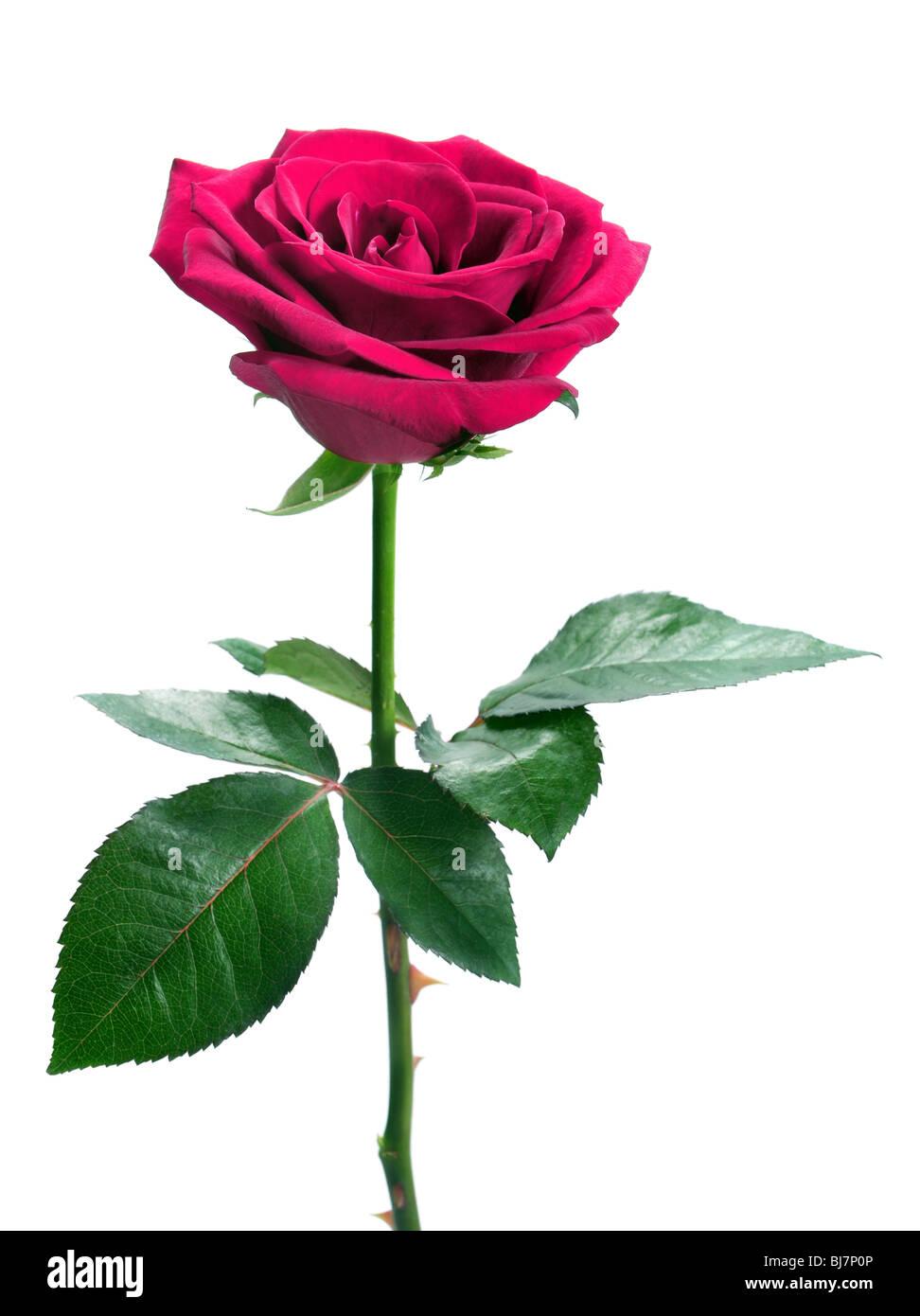 Rosa rosa isolato su sfondo bianco Immagini Stock