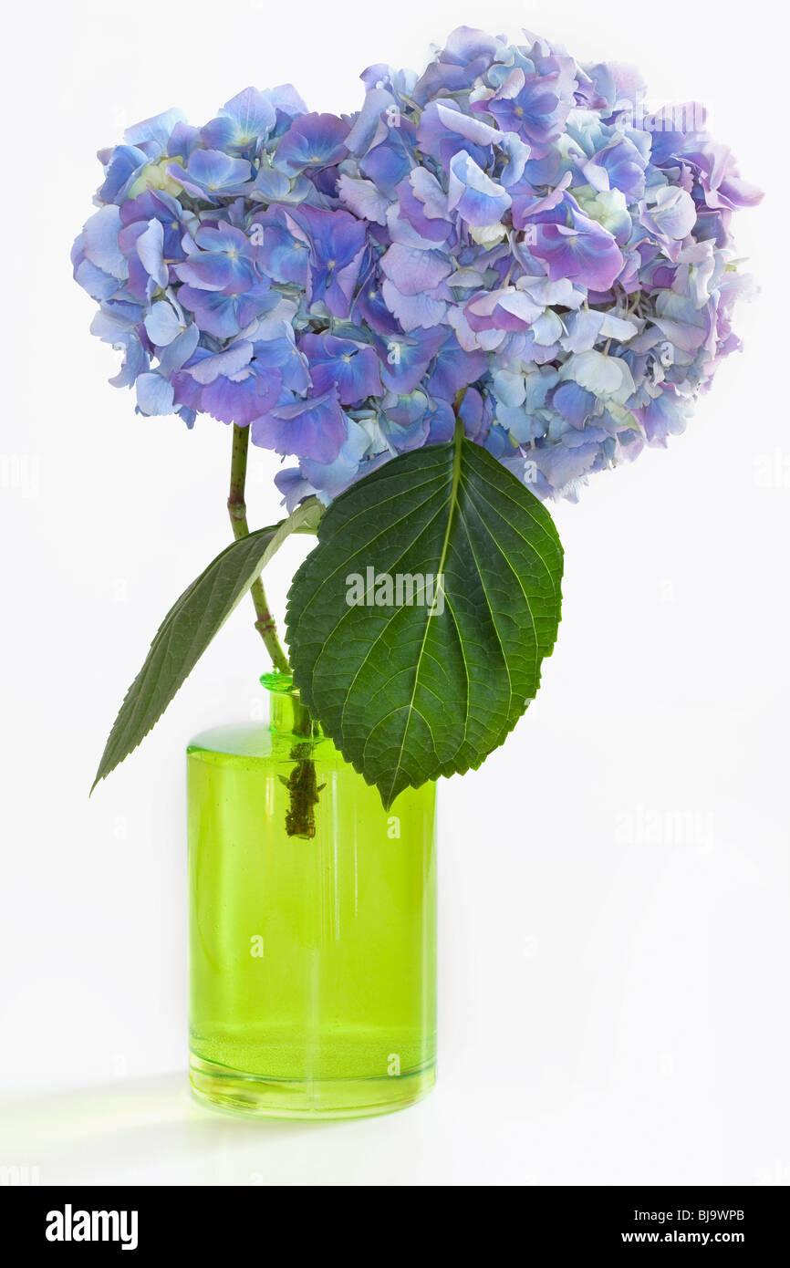 Due ortensie blu fiorisce in vaso verdi su sfondo bianco for Ortensie in vaso
