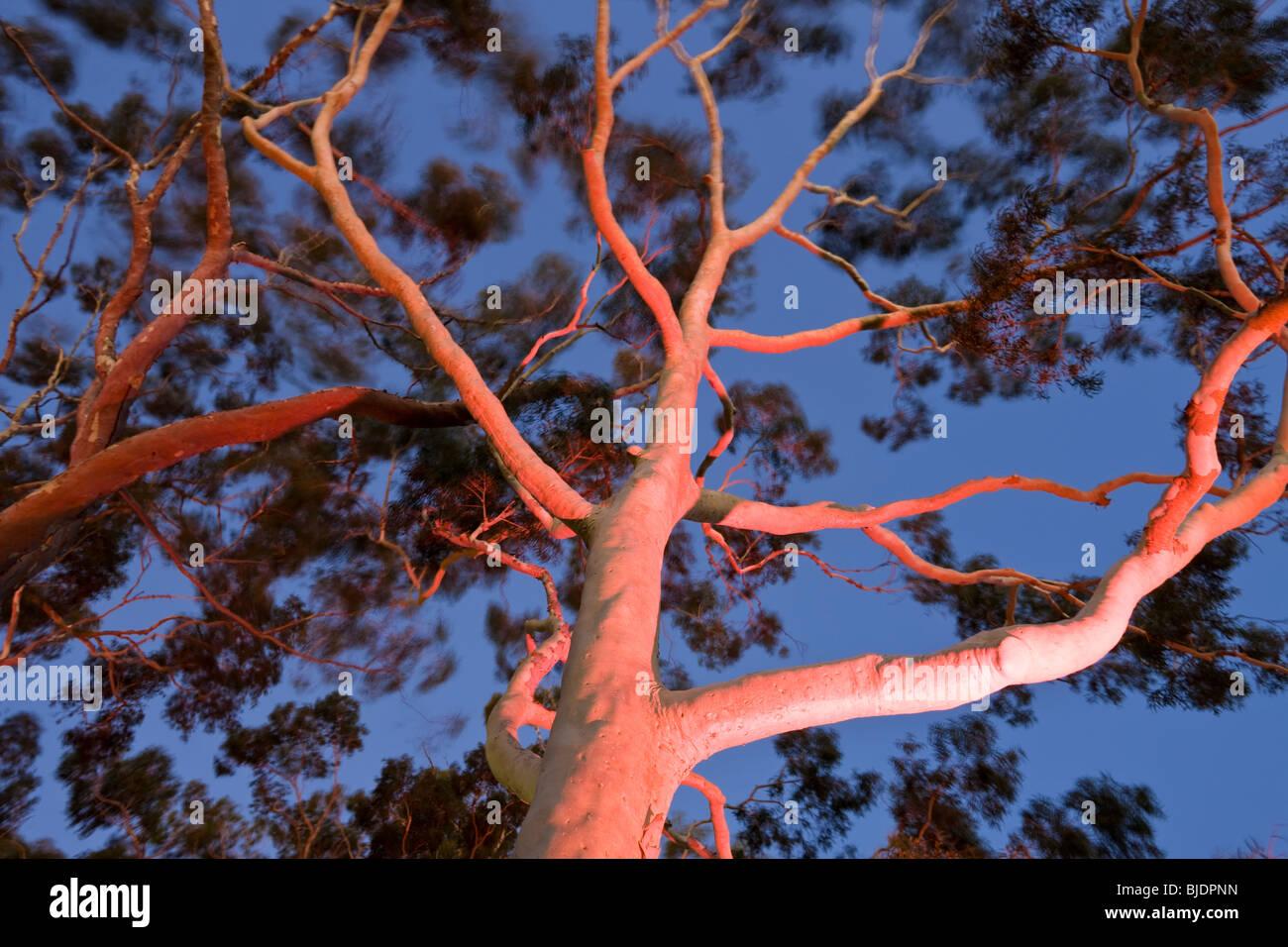 Coppia di limone gomma profumati alberi di eucalipto citriodora in Kings Park Perth Western Australia, Australia Immagini Stock