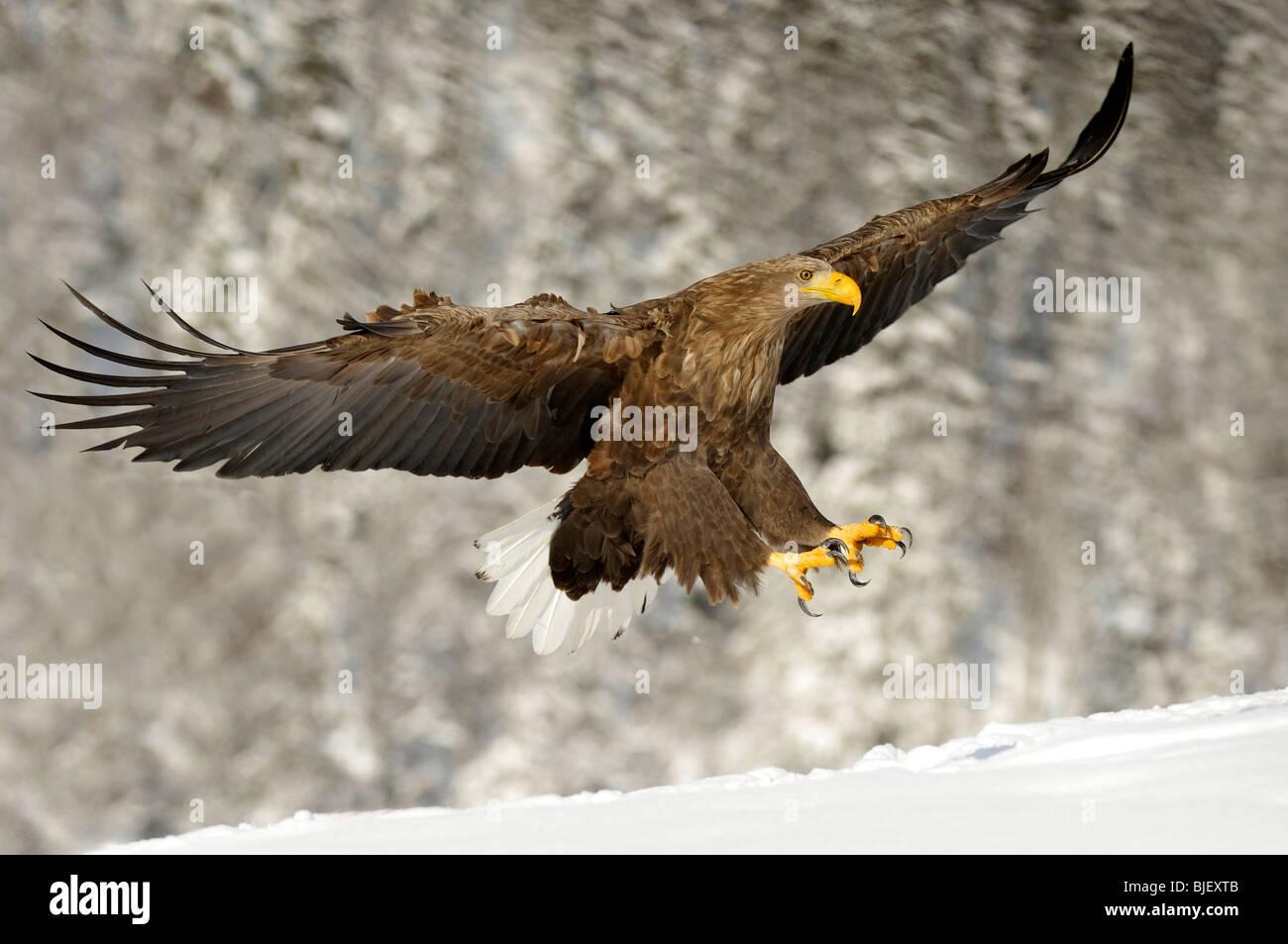 White-Tailed Eagle (Haliaeetus albicilla), adulto in approccio di atterraggio. Immagini Stock